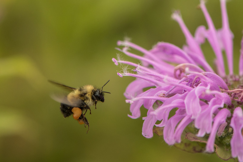Bumble Bee with pollen sacs