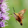Hummingbird Clear Wing Moth