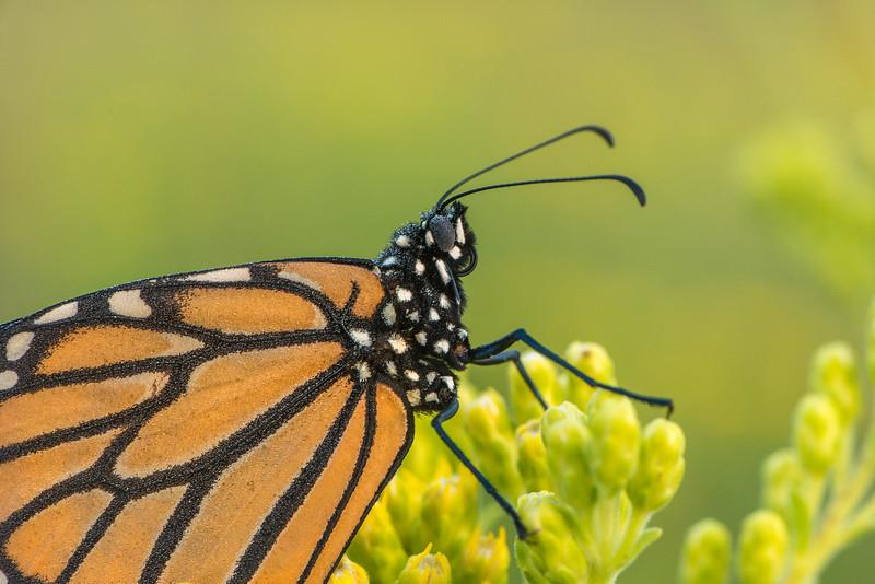 Monarch close-up on Stiff Goldenrod