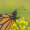 Monarch close-up on Stiff Goldenrod