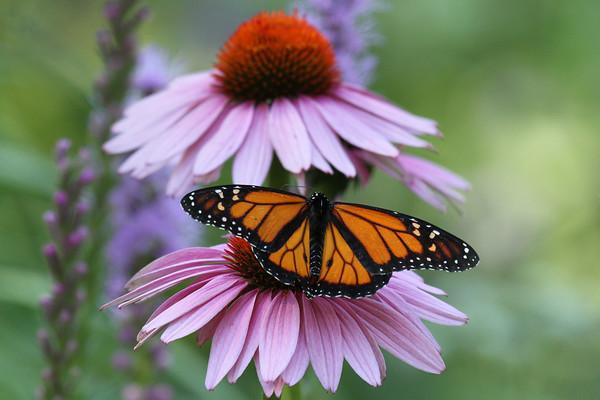 Monarch Butterfly N (Danaus plexippus)