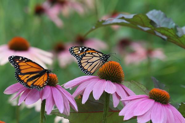 Monarch Butterfly's #3 (Danaus plexippus)
