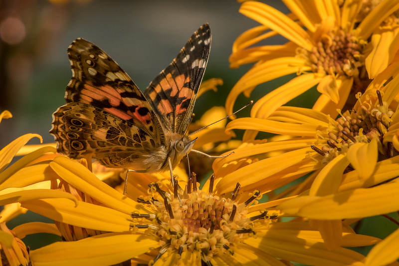 Painted Lady blending in