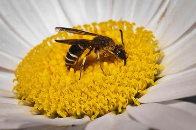 Wasp Gathering Pollen Banff National Park Alberta, Canada © 2011