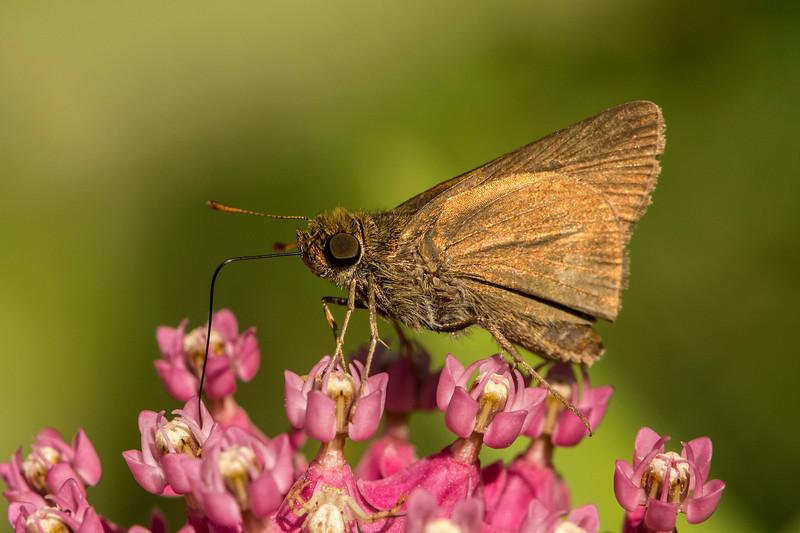 Crossline Skipper Butterfly
