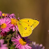 Orange Sulphur on Asters