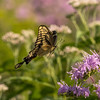 Giant Swallowtail flying into Bee Balm