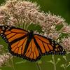 Male Monarch on Joe-pye Weed