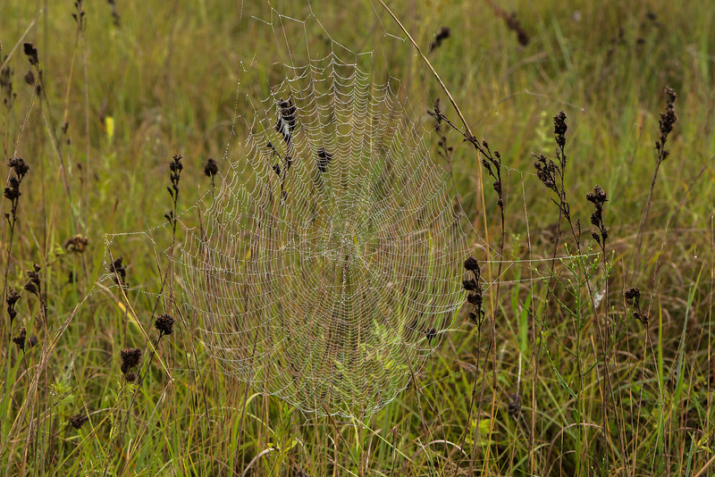 Dew-covered spider web on the prairie