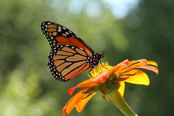 Monarch Butterfly C (Danaus plexippus)