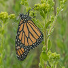 Dew-covered Monarch on Stiff Goldenrod