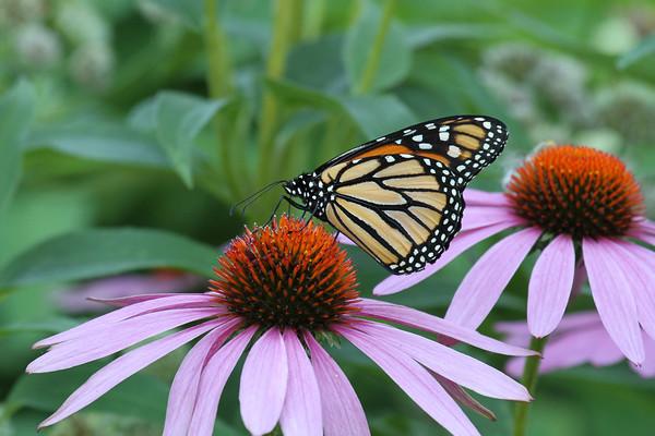 Monarch Butterfly H (Danaus plexippus)