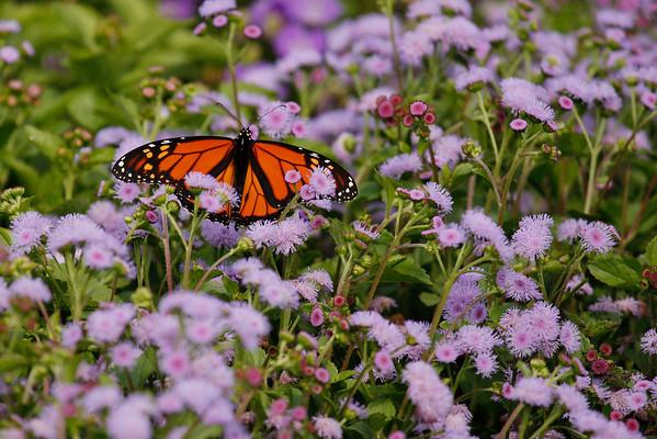 Monarch Butterfly B (Danaus plexippus)