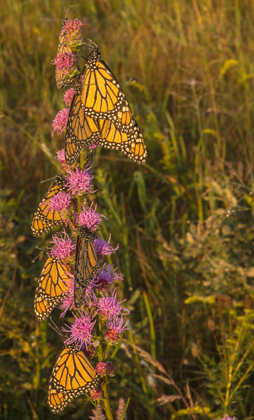 Nine Monarchs on Rough Blazing Star