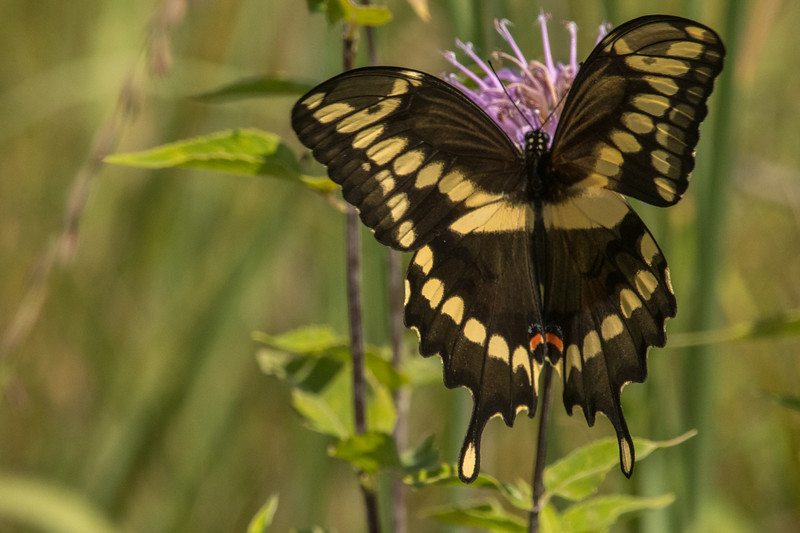 Wings of a Giant Swallowtail