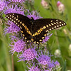 Black Swallowtail on Rough Blazing Star
