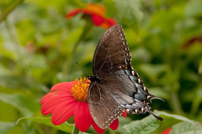 INST_11013: Black phase Female Tiger Swallowtail (Papilio glaucas)