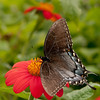 INST_11013: Black phase Female Tiger Swallowtail (Papilio glaucas)