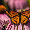 Viceroy nectaring on Purple Coneflowers