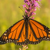Male Monarch on Prairie Blazing Star