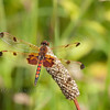 Calico Pennant Dragonfly-Male