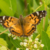 Painted Lady on Dogbane