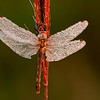 INST-11054: Autumn Meadowhawk dragongly (Sympetrum vicinum)