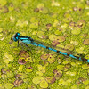 Common Bluet on duckweed