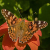 Painted Lady on Mexican Sunflower