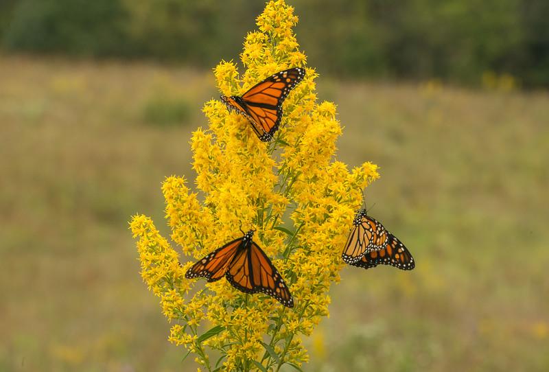 Monarchs on Showy Goldenrod