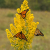 Monarchs on Showy Goldenrod