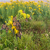Monarchs roosting on Stiff Goldenrod