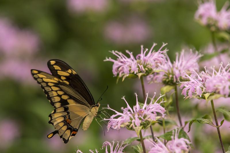 Giant Swallowtail on Bee Balm