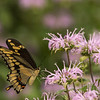Giant Swallowtail on Bee Balm