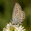 "Karner ""melissa"" Blue Butterfly"