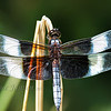 Male Widow Skimmer Dragonfly