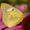 Clouded Sulphur on Purple Coneflower
