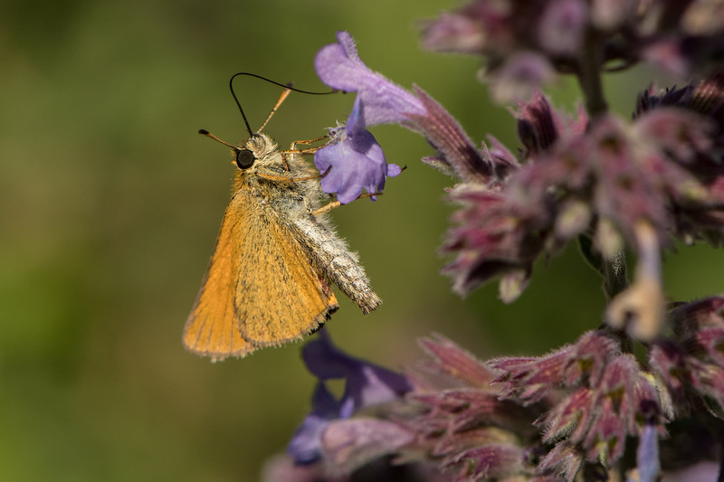 Least Skipper Butterfly nectaring