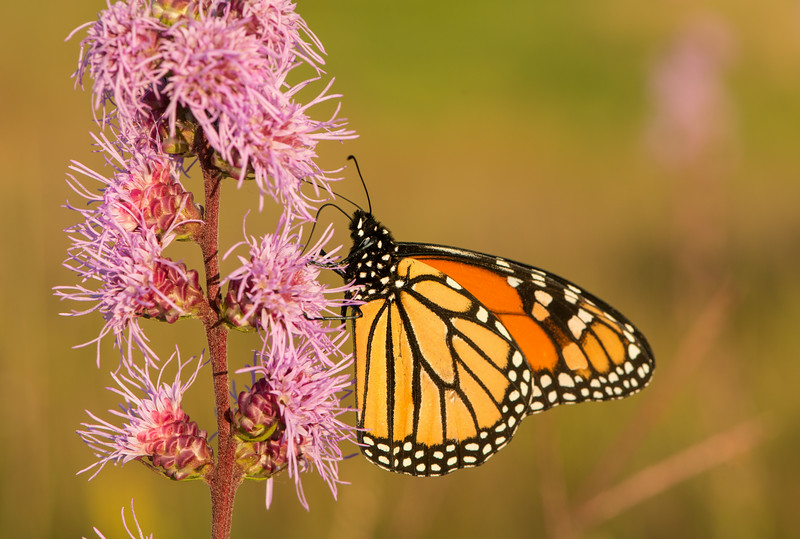 Rough Blazing Star and Monarch