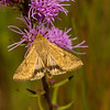 Moth on Rough Blazing Star