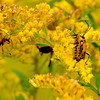 mating pair of Goldenrod Soldier Beetles (Chauliognathus pensylvanicus) on goldenrod