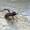 Orange-tipped Leaf-footed Bug (Acanthocephala terminalis)