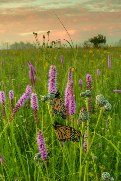 Monarchs on the prairie