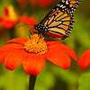 INST-11031: Monarch Butterfly