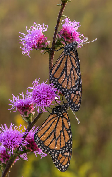 Monarch pair on Rough Blazing Star