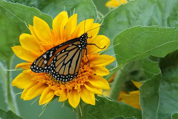 Monarch Butterfly L (Danaus plexippus)