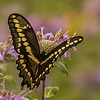 Wings of a Giant Swallowtail Butterfly