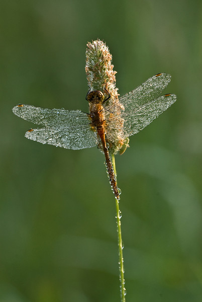 7001 Dew covered Dragonfly: