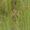 Orb Weaver Spider on web