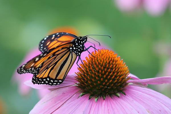 Monarch Butterfly Q (Danaus plexippus)